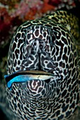 Moray eel with cleaner wrasse