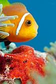 Anemonefish guarding eggs