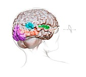 Vision and sound neurology,illustration