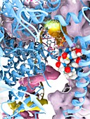 Alpha-amanitin toxin and RNA polymerase