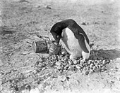 Adelie penguin nest in Antarctica,1911