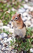 Chipmunk in the Canadian Rockies
