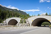 Wildlife crossing icefield parkway