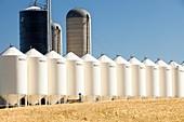 Field of Wheat in Alberta,Canada