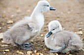 Mute Swan (Cygnus olor) cygnets
