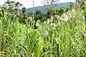 Sugar cane field,Ecuador