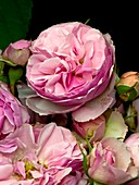 Rose (Rosa 'The Enchantress') flowers