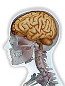Human brain,illustration