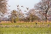Pink Footed Geese (Anser brachyrhynchus)
