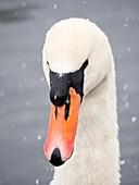 Mute Swan (Cygnus olor) in the snow