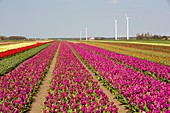 Tulips and wind turbines,Netherlands