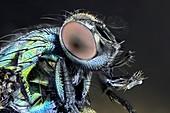 Blowfly,light micrograph