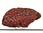 Organ pipe coral specimen