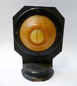 Brown trout embryo,wax model
