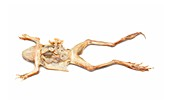 Dissected frog,dried specimen