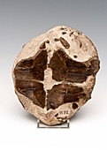 Turtle shell fossil