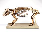 Wombat skeleton