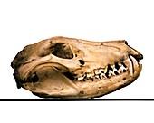 Tasmanian wolf skull