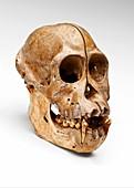 Orangutan skull