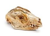 Cuscus skull