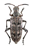 Ribbed pine borer beetle