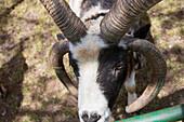 Four-horned Jacob sheep