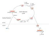 Calvin-Benson metabolic cycle
