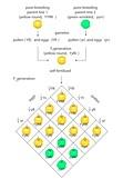 Mendelian genetics,Punnett square