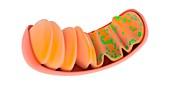 Mitochondrion,illustration