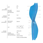 Membrane permeability,illustration