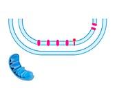 Electron transport system,illustration