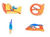 Ear and cochlear anatomy,illustration