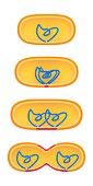 Bacterial cell division,illustration