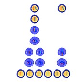 Meiosis and mitosis,illustration
