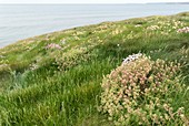 Scurvygrass (Cochlearia officinalis)