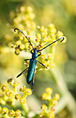 Common metallic longhorn beetle