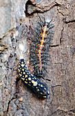 Garden acraea caterpillar and pupa