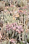 Hoodia gordonii in flower