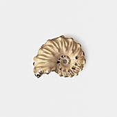 Ammonite shell fossilised in clay