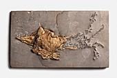 Belemnotheutis antiqua fossilised in clay