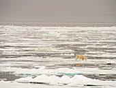 A Polar Bear hunting seals on sea ice