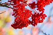 Berries on a Rowan tree