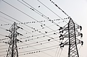 Pigeons on electricity wires in Calcutta