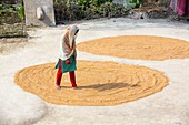 A woman drying her rice crop