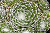 Cobweb houseleek leaves