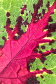 Coleus leaf abstract