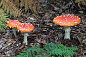 Fly agaric fungus