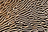 Oak mazegill pore structure abstract
