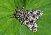 Knot grass moth