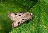 Heart and dart moth